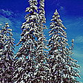 Snow Trees by Rich Walter