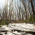 Snow Trees by Tim Hester