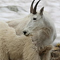 Snow White Mountain Goat by Carol Groenen