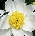 Snow White Peony by Christiane Schulze Art And Photography