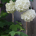 Snowball Flowers by Mick Anderson