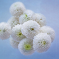 Snowballs-pom Mum by Kim Hojnacki