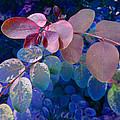 Snowbush Blue by Ginny Schmidt