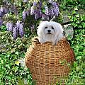 Snowdrop In A Basket by Morag Bates