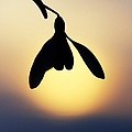 Snowdrop Silhouette by Tim Gainey