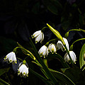 Snowdrops And Dark Background by Byron Varvarigos