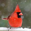Snowflake Cardinal by Kerri Farley
