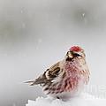 Snowing by Cheryl Baxter