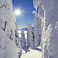 Snowscape Snow Covered Trees And Bright Sun by Anonymous
