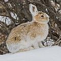 Snowshoe Hare by Blue Ice Alaska