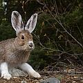 Snowshoe Hare Changing Colors by Tom Reichner
