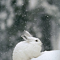 Snowshoe Hare In Snowfall Yellowstone by Michael Quinton