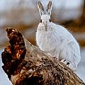 Snowshoe Hare Pictures 131 by World Wildlife Photography
