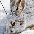 Snowshoe Hare Pictures 133 by World Wildlife Photography