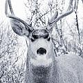 Snowstorm Deer by Steve Krull