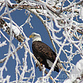 Snowy Bald Eagle by Brandi Maher