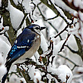 Snowy Blue Jay by Kimberly Perry