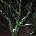 Snowy Branches by Guy Ricketts