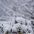 Snowy by Carol Lynch
