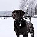 Snowy Chocolate Lab by Janice Byer