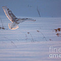 Snowy Coming In For Landing by Cheryl Baxter
