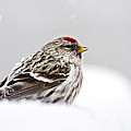 Snowy Common Redpoll by Christina Rollo