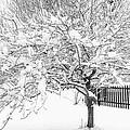 Snowy Crab Apple by Don Nieman