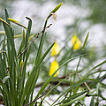 Snowy Daffodils by Spikey Mouse Photography