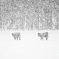 Snowy Day Highland Cattle by Cheryl Baxter