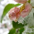 Snowy Drop by Rhonda Barrett