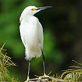 Snowy Egret 1 by Dot Rambin