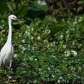 Snowy Egret 3 by Allan Lovell