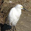 Snowy Egret by Alan Hutchins