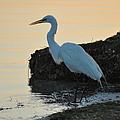 Snowy Egret by Bill Cannon