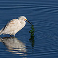 Snowy Egret Catches Sushi And Seaweed by Kathleen Bishop