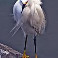 Snowy Egret by David Salter