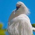 Snowy Egret by Donna Doherty