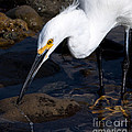 Snowy Egret Dribble by John Daly