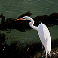 Great Egret Monterey Bay California  By Pat Hathaway by California Views Archives Mr Pat Hathaway Archives