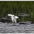 Snowy Egret Fishing by Debby Richards