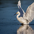 Snowy Egret Frolicking In The Water by Andres Leon