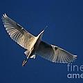 Snowy Egret In Flight by John Harmon