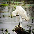 Snowy Egret In Swamp by Robert Frederick