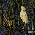 Snowy Egret In The Reeds by Maria  Struss