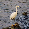 Snowy Egret by Karen Silvestri
