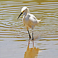 Snowy Egret Looking For Fish by Tom Janca