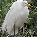 Snowy Egret by Marilyn Burton
