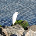Snowy Egret by Marilyn Holkham