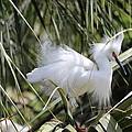 Snowy Egret by MaryAnn Barry
