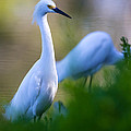 Snowy Egret On A Lush Green Foreground by Andres Leon